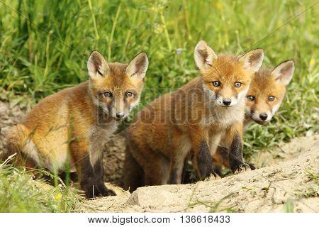 european red fox family cute cubs near the den ( Vulpes vulpes )