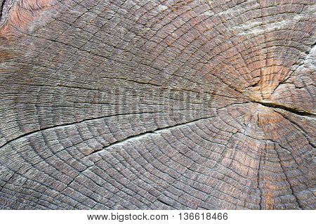 texture of old cut oak tree ready for your design ( Quercus robur )
