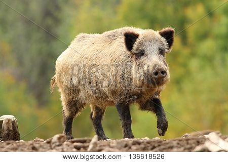 Sus scrofa - wild hog looking towards the camera