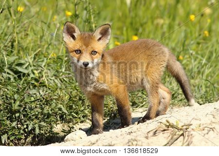 wild young fox looking at the photographer ( Vulpes vulpes )