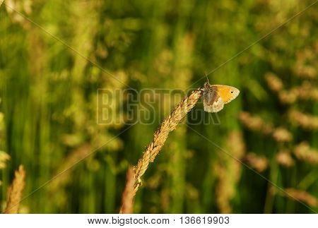 Beautiful butterfly - orange tip in a meadow