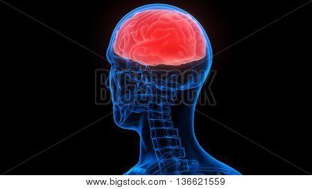 3D Illustration of Human Body Organs (Brain Anatomy)