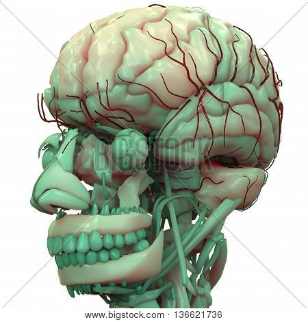 3D Illustration of Human Brain with Nerves Anatomy
