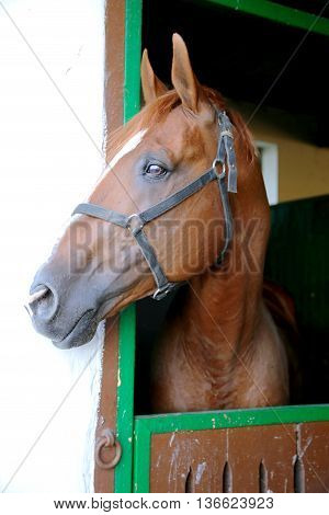 Anglo-arabian Racehorse Watching Other Horses Out Of The Stable