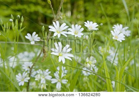 White flowers blooming in a garden. Summer background.