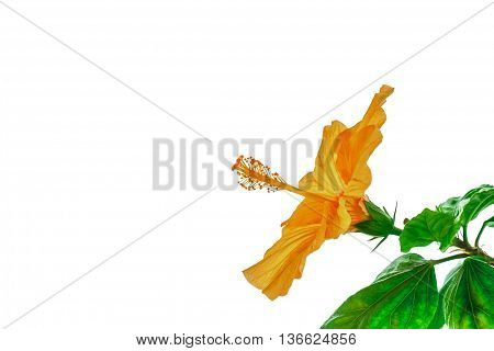 Orange flower Chinese rose. Hibiscus Bari isolated on a white background. Image with copy space.
