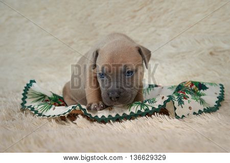 American staffordshire terrier puppy on the bed