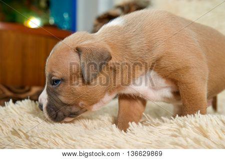 inquisitive puppy stafford terrier dog studio portrait