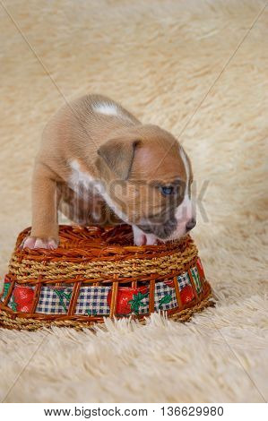 American Staffordshire terrier puppy standing on a basket
