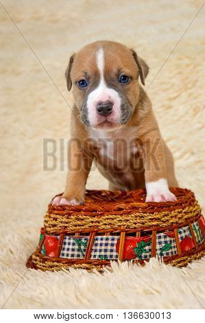 Cute American Staffordshire terrier puppy on a basket