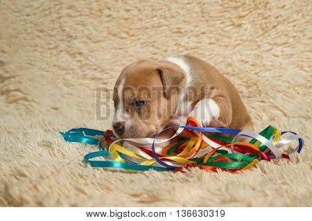 brown and white puppy of the American Staffordshire terrier played with ribbons