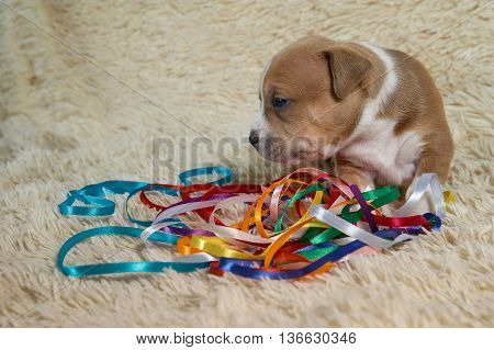 brown and white puppy of the American Staffordshire terrier played with colored ribbons