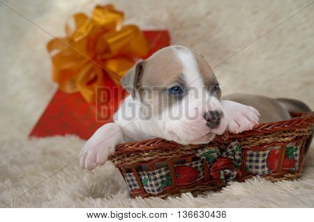 brown and white puppy of the American Staffordshire terrier playing in a basket
