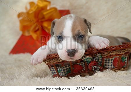 brown and white puppy of the American Staffordshire terrier lying in a basket
