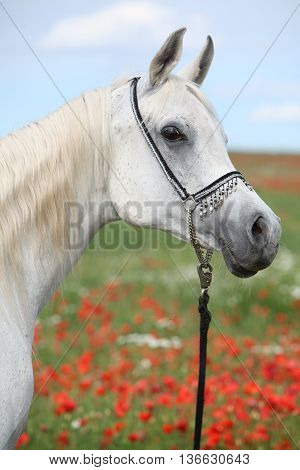 Arabian Mare In Red Poppy Field Looking At You
