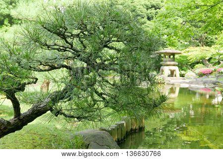 Pinus Thunbergii Tree, Stone Lantern In Japanese Garden