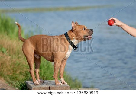american staffordshire terrier dog catching a toy