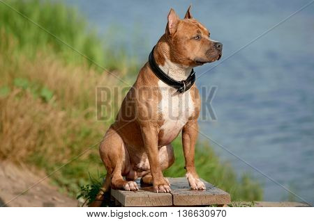 beautiful american staffordshire terrier dog on the beach