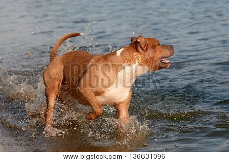 American Staffordshire Terrier wading in the inlet water