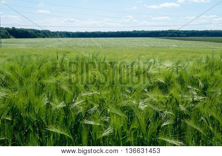 Field sown with barley. Grain used for feed and the production of beer and malt.