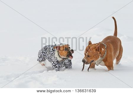 two american staffordshire terrier dogs having fun on a snow-covered field