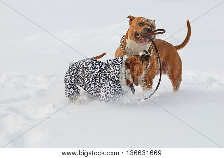Two american staffordshire terrier dogs playing love game on a snow-covered field