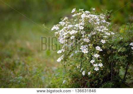Shrubby Cinquefoil cultivar with white flowers - Dasiphora fruticosa Pentaphylloides fruticosa