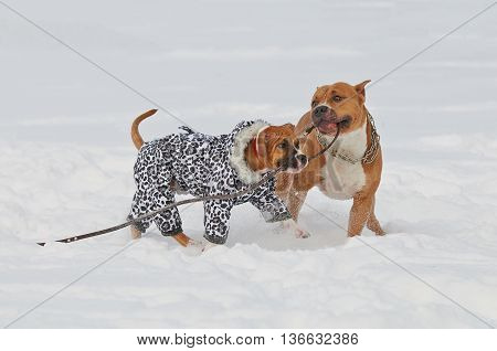Two staffordshire terrier dogs playing love game on a snow-covered field