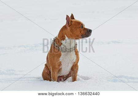 American Staffordshire Terrier dog siting in the snow