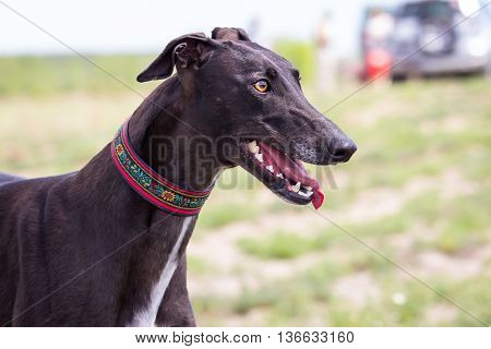 Black Greyhound. Half-face