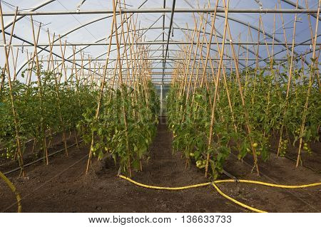 rows of ripening tomatoes growing up canes in a poly tunnel at an organic nursery