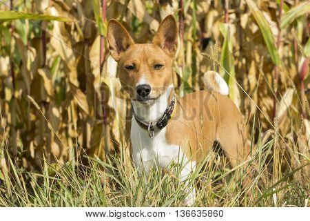 Basenji Dog In A Field