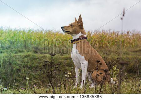 Basenji Dog Sits Amid Fields Of Corn.