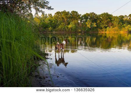 Basenji. Dog On The River Bank.