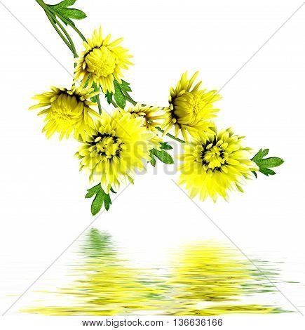Autumn beautiful colorful chrysanthemum flowers isolated on white background
