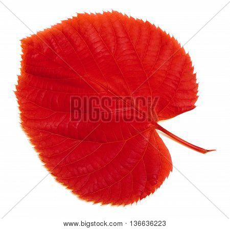 Red Autumn Leaf On White