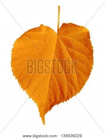 Autumn Linden-tree Leaf Isolated On White