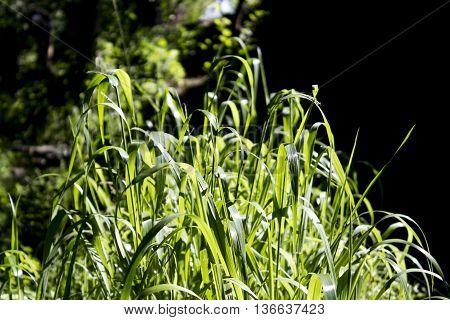 oasis of a high green grass near a stream
