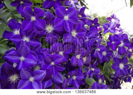 clematis the violet curling flower with green leaves