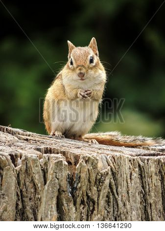 Close-up of cute chipmunk on tree stump