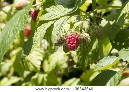 Close-up Of Red Raspberry On Plant Varieties Tulameen
