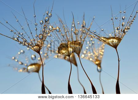 Dew drops on a dandelion seeds close up.