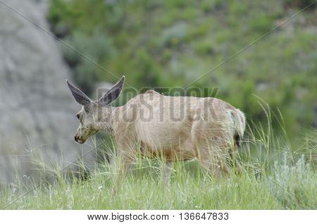 Deer wandering around between the badlands of Dinosaur Provincial Park Alberta Canada