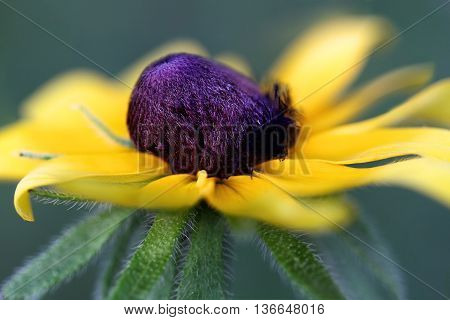 Abstract of a Black Eyed Susan with an extreme shallow depth of field.