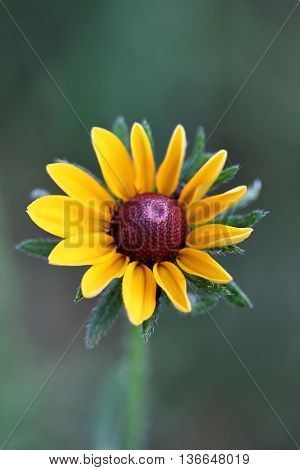 Black Eyed Susan with an extreme shallow depth of field.
