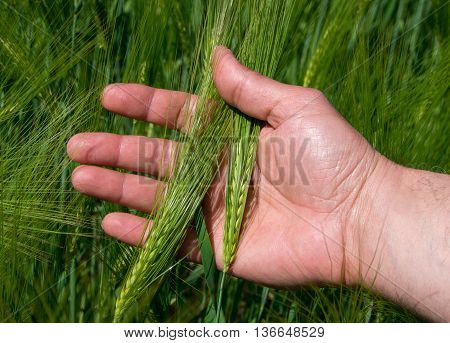 Check the harvest of barley. Barley. Angiosperm plant. Grain used for feed and the production of beer and malt.