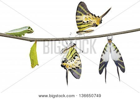 Isolated Five Bar Swordtail Butterfly Life Cycle (antiphates Pompilius)