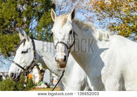 Horses two grays in field equestrian animals