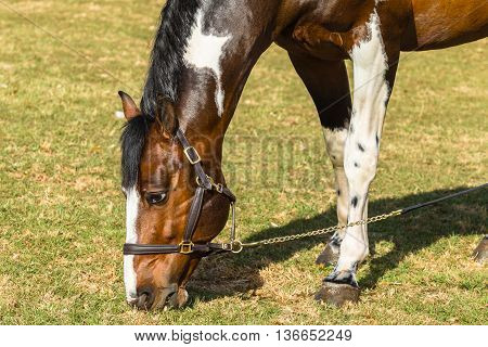 Horse equestrian brown white animal in field