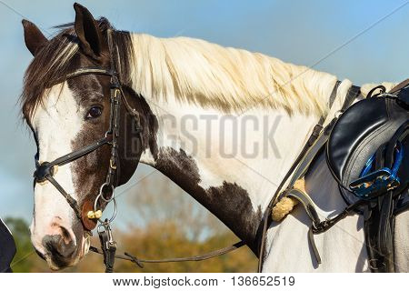 Horse saddle equestrian brown white animal in field